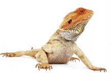 orange-iguana-on-white-background 2